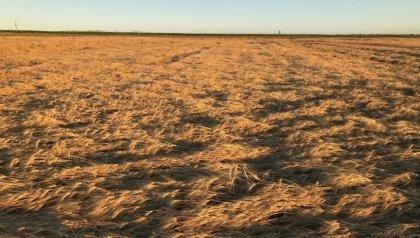 Remote sensing of lodged crops